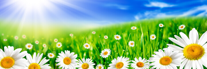 Banner Of Yellow And White Daisies In Rolling Green Meadow With Bright Blue Sky And Sunshine