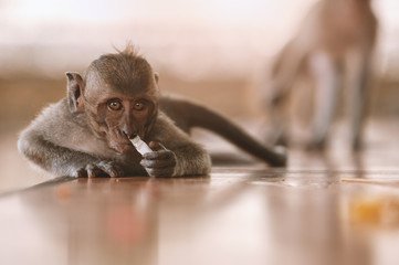 Cute litte macaque sniffing on cigarette butt