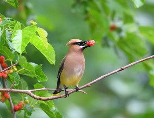 Poster Bird cedar waxing bird eating mulberry fruit on the tree