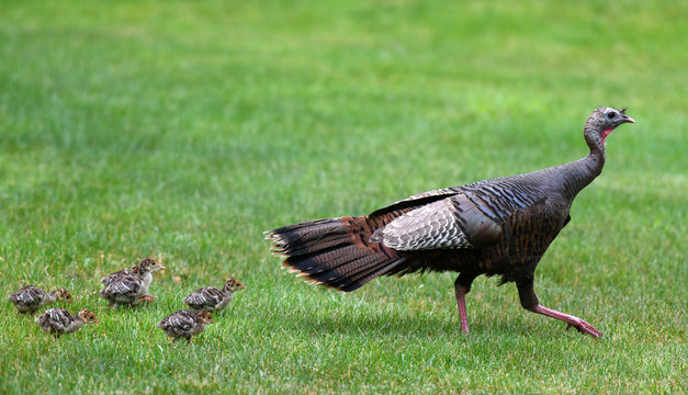 a flock of young chick follow mother turkey on the meadow