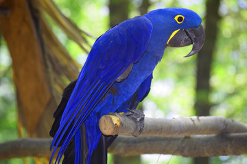 A Hyacinth Macaw Parrot Fotomurales