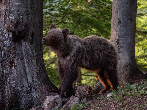 Brown bear (Ursus arctos) in summer forest by golden hour. Brown bear in evening forest by sunset.