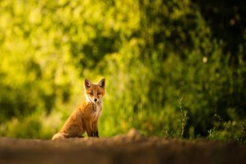 Red fox cub , Vulpes Vulpes Wall mural