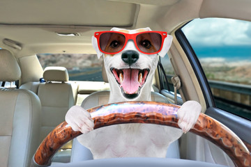 Spoed Fotobehang Hond Portrait of a funny dog Jack Russell Terrier in sunglasses behind the wheel of a car