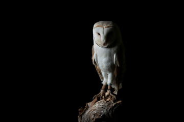 Stunning portrait of Snowy Owl Bubo Scandiacus in studio setting isolated on black background with dramatic lighting Fototapete