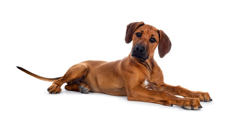 Cute wheaten Rhodesian Ridgeback puppy dog with dark muzzle, laying down side ways facing front. Head up and looking at camera with sweet brown eyes. Isolated on white background.