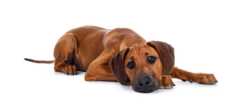 Cute wheaten Rhodesian Ridgeback puppy dog with dark muzzle, laying down side ways facing front. Looking at camera with sweet brown eyes and sad face. Isolated on white background.