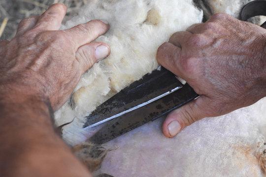 Shearing sheep. Farmer shearing sheep with old rusty scissors