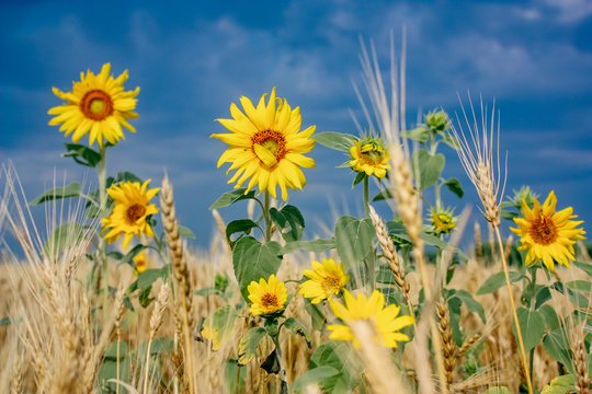 Bright yellow flowers of sunflowers in a field of golden wheat on blue sky background. Beautiful Summer Picture