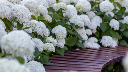 Foto op Canvas Hydrangea White hydrangea blooming in the evening summer garden