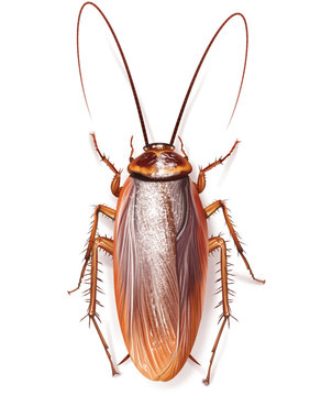 cockroach insect in home kitchens