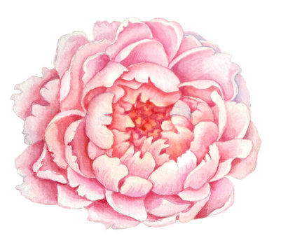 Pink Peony flower , flower of a beautiful delicate pink tree peony