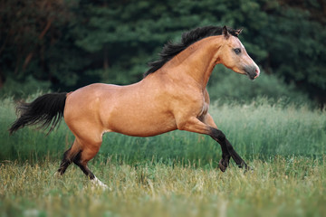 Cream-coloured horse running through the pasture