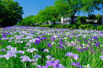 Akabori Japanse Iristuin 6