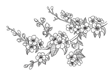 Blooming cherry branch, vector illustration. Sakura isolated line sketch on white background.