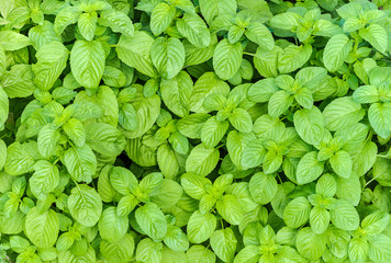 Front view  of  cultivation of organic mint