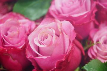 Spoed Foto op Canvas Roze Rose flower plant landscape