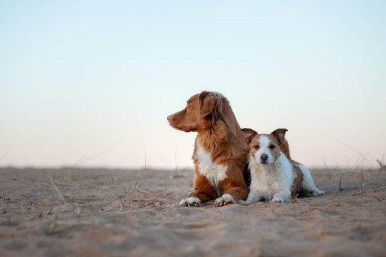 two dogs on the sand sunset. Nova Scotia Duck Tolling Retriever and a Jack Russell terrier on nature. travel with a pet.happy dogs