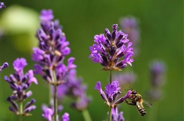 Biene liebt Lavendel