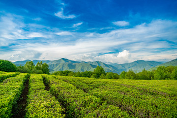 Tea plantation in the mountains of Sochi