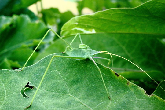 closeup of green long leg stick insect on a leaf