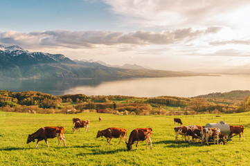 Many young cows graze on alpine pasture with amazing view of swiss lake Geneva on background Wall mural