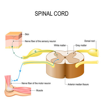 Spinal cord. Reflex arc (neural pathway)