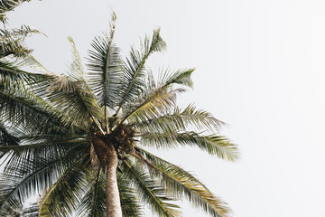 Coconut  green palm trees against white sky. Minimal isolated wallpaper.Travel or exotic concept. Summer background.