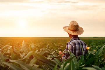 Rear view of senior farmer standing in corn field examining crop at sunset. Wall mural