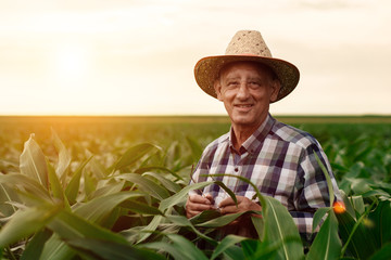 Portrait of senior farmer standing in corn field examining crop at sunset. Wall mural