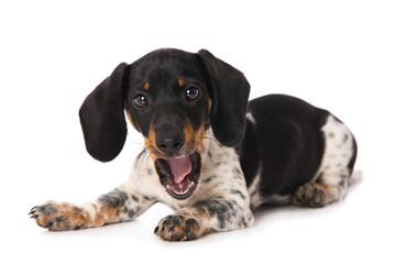 Yawning miniature piebald dachshund isolated on white background