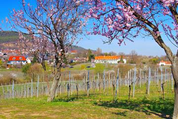 Kloster Hildebrandseck in Gimmeldingen während der Mandelblüte -monastery Hildebrandseck in Gimmeldingen during the almond blossom