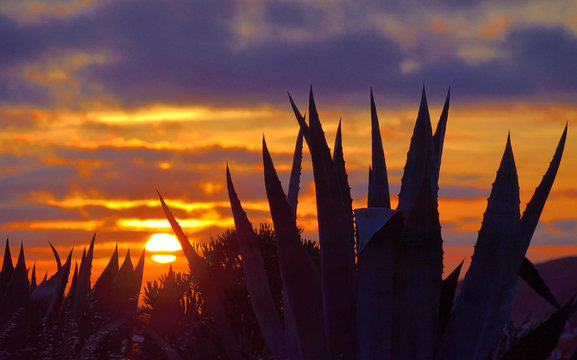 Backlit agave plants in foreground and covered sky with sun among clouds at dawn