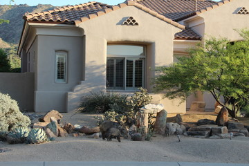Javelinas in front of a south west style home Wall mural