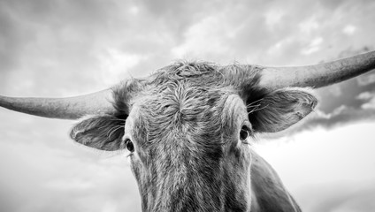 Surreal close up of a texas longhorn calf.