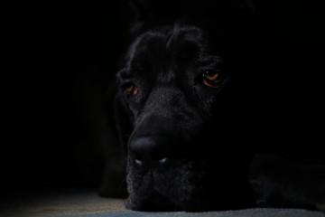 Foto auf Leinwand Panther Cane corso black dog on black background