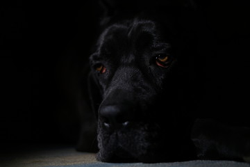 Poster Panther Cane corso black dog on black background