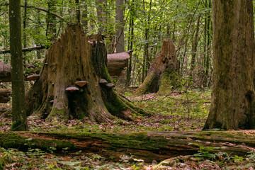 Party declined broken spruce tree