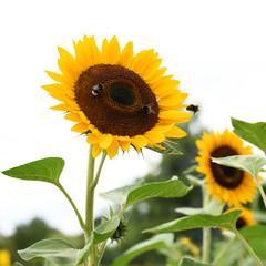 Sonnenblumen und Bienen