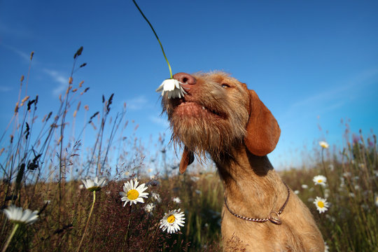 Wirehaired Vizsla dog sniffing a flower