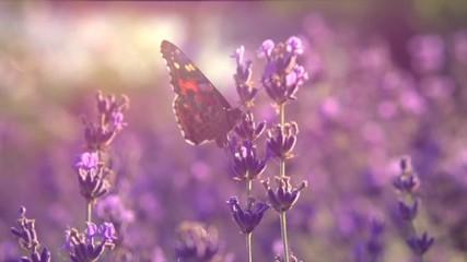 Fotoväggar - Butterfly on fragrant Lavender flower. Honeybee working on growing lavender flowers field closeup. Slow motion 4K UHD video footage. 3840X2160