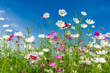 Landscape nature of beautiful cosmos flowers field under bluy sky background  Wall mural