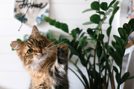 Maine coon playing with paw and looking with funny  emotions at zamioculcas leaves. Cute cat sitting under green plant branches on wooden shelf in stylish boho room. Space for text