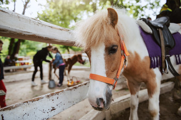 Adorable white and brown pony horse standing next to fence. Ranch exterior.