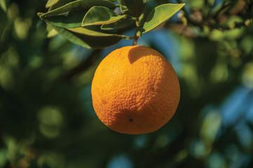Ripe orange in a small farm