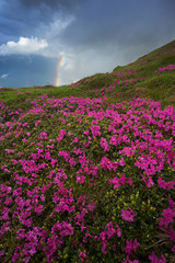 Rhododendron flowers and rainbow. Rodna Mountains, Romania