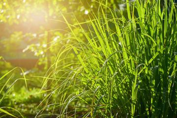 Lemongrass grown in the vegetable garden, herbs have medicinal properties.