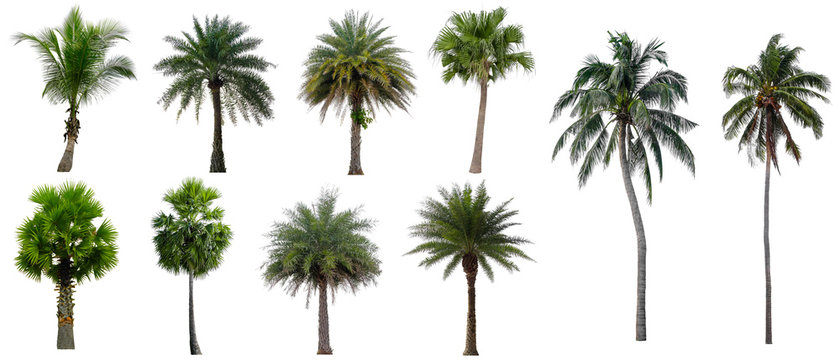 Set beautiful coconut and palm trees isolated on white background, Suitable for use in architectural design and decoration work.