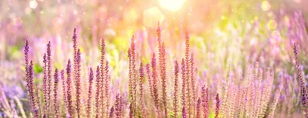purple flowers of decorative sage field in sunlight. Beautiful Bumbleberry Salvia, Woodland Sage (Salvia Nemorosa) in flower garden. Gentle flower in summer. artistic image of summer season. banner