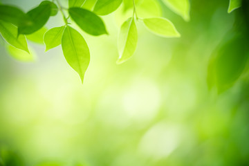 Closeup nature view of green leaf on blurred greenery background in garden with copy space for text using as summer background natural green plants landscape, ecology, fresh wallpaper concept. Fototapete
